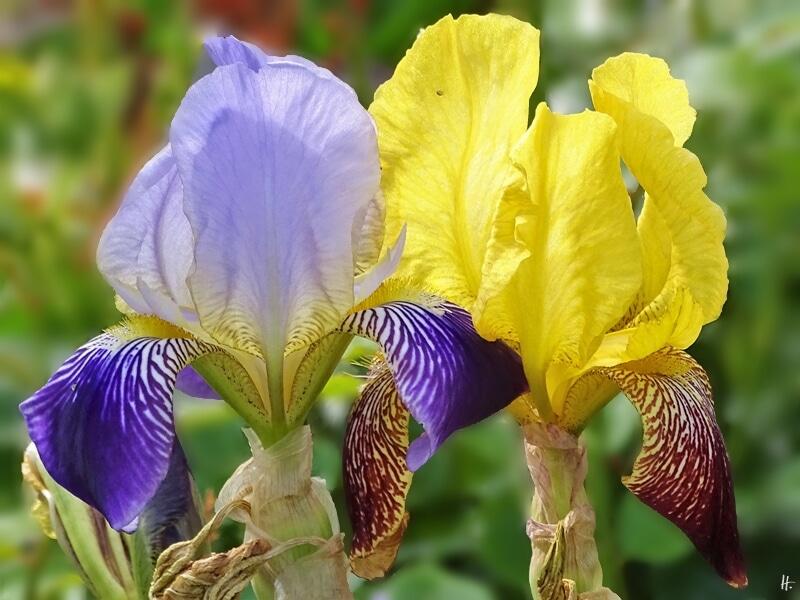 2019-06-02 LüchowSss Garten Heidruns Gelb-Rote + violette Bartiris (Iris barbata) (3)